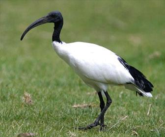 ibis-sacro.jpg